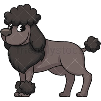 Groomed black miniature poodle. PNG - JPG and vector EPS (infinitely scalable). Image isolated on transparent background.