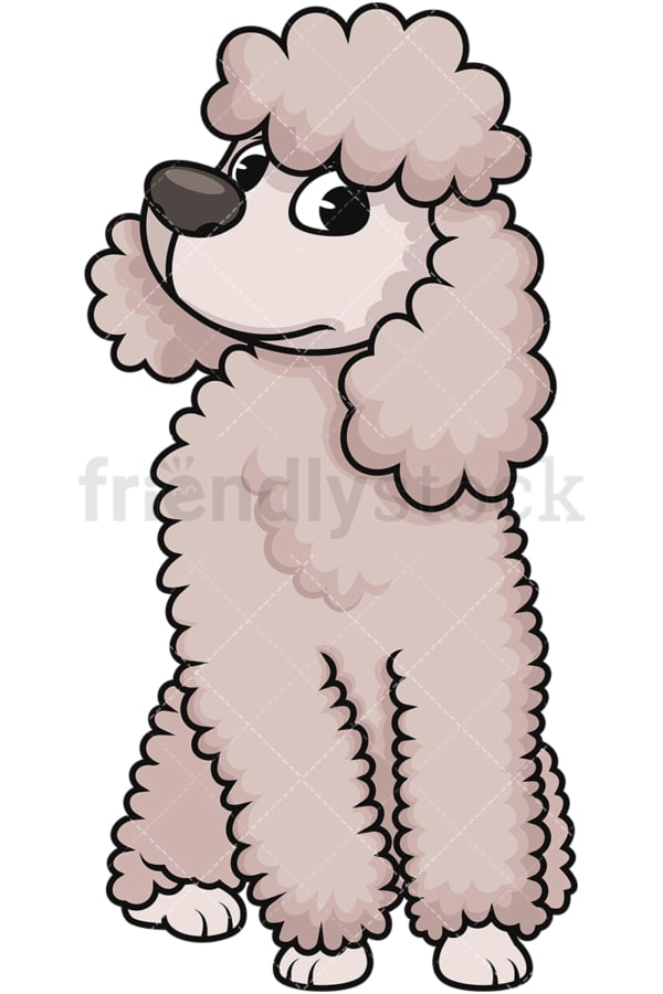 Curious miniature poodle. PNG - JPG and vector EPS (infinitely scalable). Image isolated on transparent background.