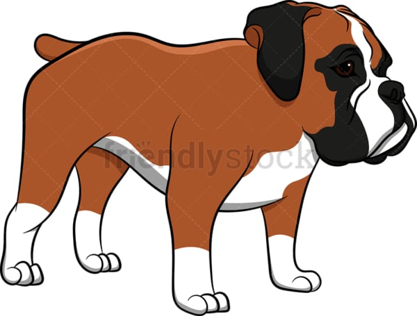 Boxer dog standing still. PNG - JPG and vector EPS (infinitely scalable). Image isolated on transparent background.