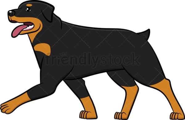 Rottweiler walking with tongue out. PNG - JPG and vector EPS (infinitely scalable).