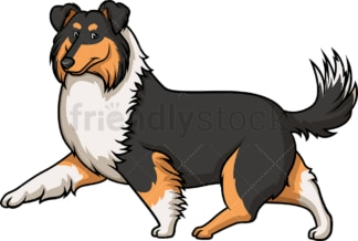 Dark mahogany sable collie walking. PNG - JPG and vector EPS (infinitely scalable).