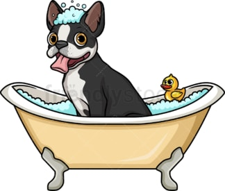 Boston terrier having a bath. PNG - JPG and vector EPS (infinitely scalable). Image isolated on transparent background.