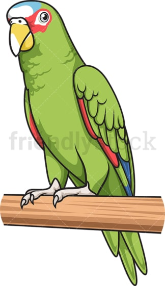 White-Fronted amazon parrot. PNG - JPG and vector EPS (infinitely scalable).