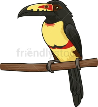 Tropical collared aracari. PNG - JPG and vector EPS (infinitely scalable).