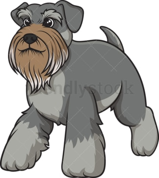 Gray schnauzer walking. PNG - JPG and vector EPS (infinitely scalable).