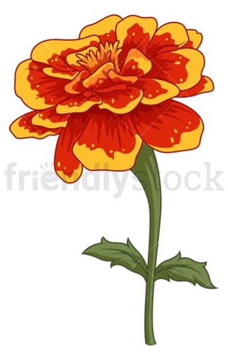 Marigold flower. PNG - JPG and vector EPS (infinitely scalable).