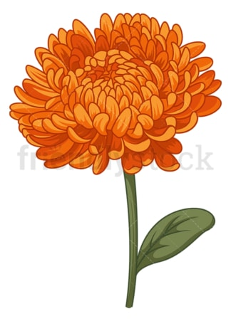 Chrysanthemum flower. PNG - JPG and vector EPS (infinitely scalable).